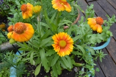 Orange-flowers in container