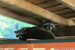 SHracoons67