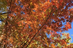 Maple-red-canopy