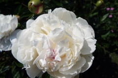 SKWhite-Peony-with-pink-flash613
