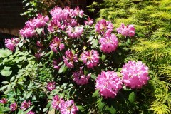 SKRhododendron613